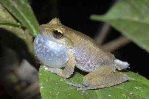 A Litoria frog