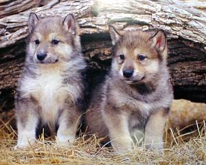 r gray wolf pups2 Gray Wolves to be Removed from Northern Rockies and Great Lakes