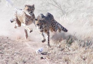Run cheetah run