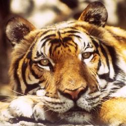 tigercaspar250
