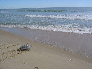 turtle-to-sea