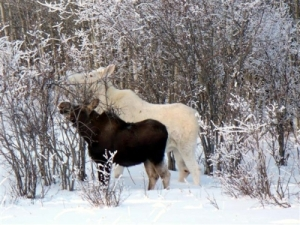 white non-albino moose eating