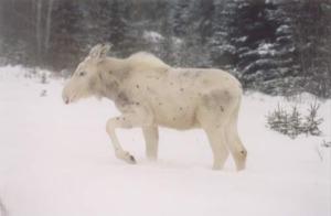 white_moose
