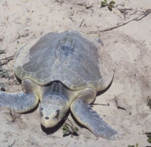 620px-padre_island_national_seashore_-_kemps_ridley_sea_turtle