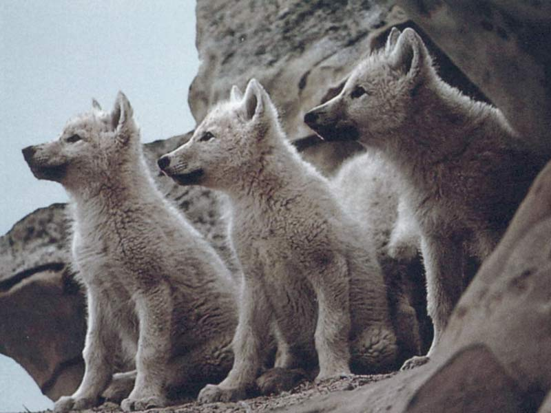 a group of baby wolves pictures
