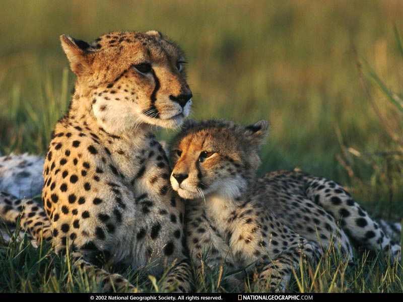 http://naturescrusaders.files.wordpress.com/2009/04/cheetah-mom-and-cub-642816-sw.jpg