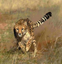 cheetah a running machine
