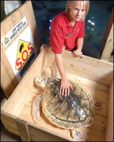Kemp's Ridley turtle going home again