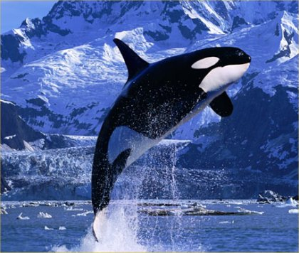 Killer whales may go extinct