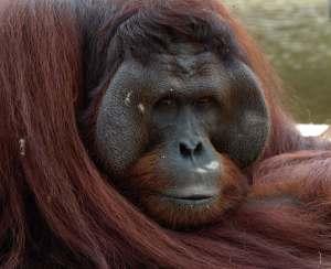 orangutan-male