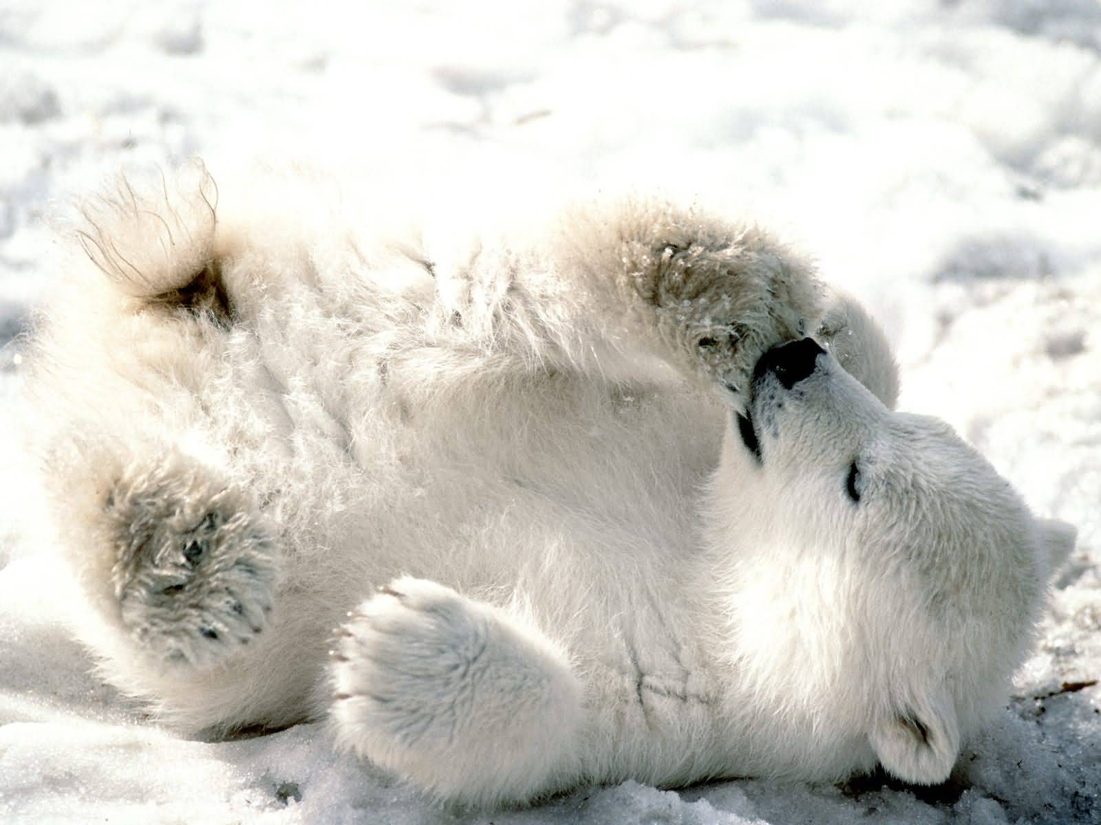 http://naturescrusaders.files.wordpress.com/2009/04/playful_baby_polar_bear-1600x1200-bandwidth-thief.jpg