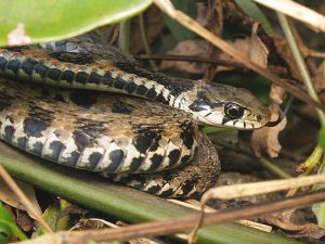 Snake stores toxic toad pison in neck glands