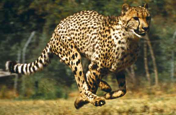 Hunting Cheetah Running Picture