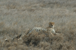 Cheetah resting on Serengeti Plains