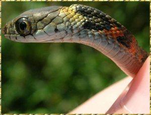 snake-poison-gland