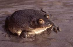 water- holding frog C.platycephala