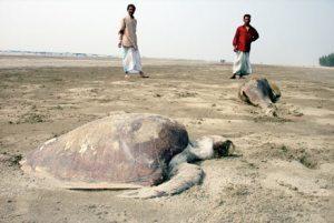 Sea turtles dead on India's beach '07