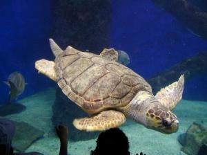 Loggerhead swimming free