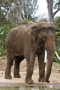 Captive elephants can be healthy