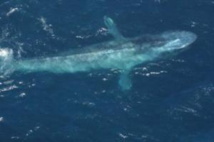 Blue whales migrating north