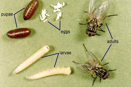 House fly larva eat flesh