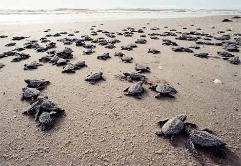 baby turtles making their way to the open sea