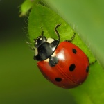 Protective coloration on ladybug