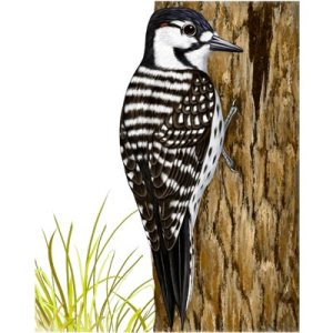 Alabama Red-cockaded Woodpecker Safe Harbor Program