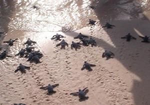Hatchling sea turtles retuen to the sea