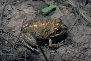 Australian short-footed frog