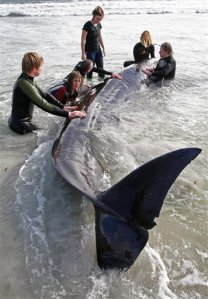 South African whale rescue attempt