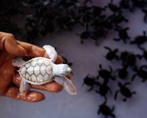 albino green turtle