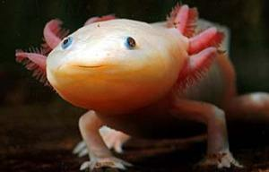 The rare axolotl