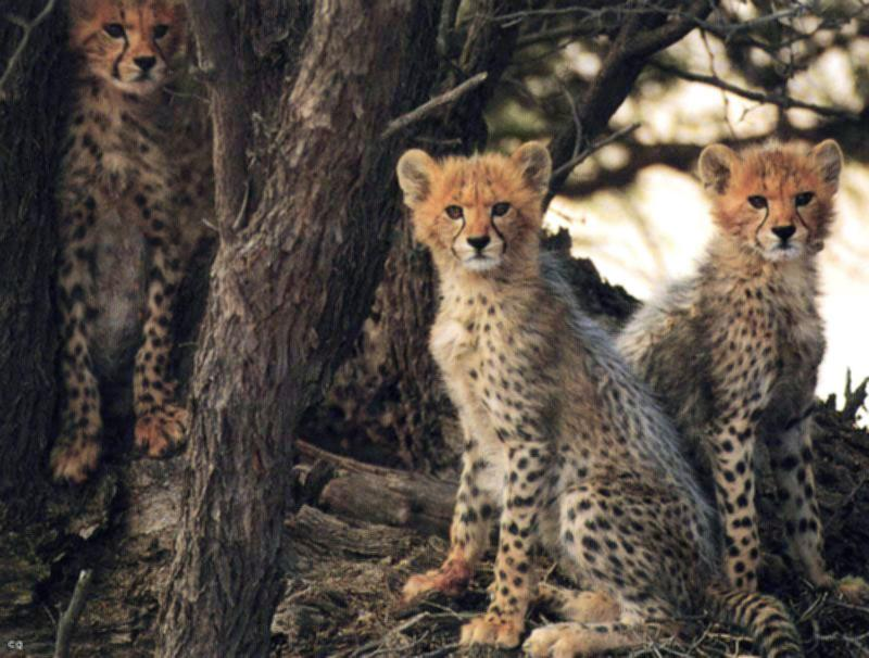 Cheetah cubs Picture
