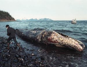 Exxon's oil coated this dead whale