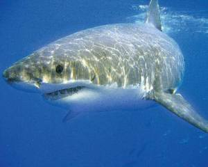 endangered great white