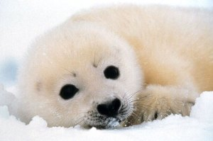 Seal pups slaughtered for fashion