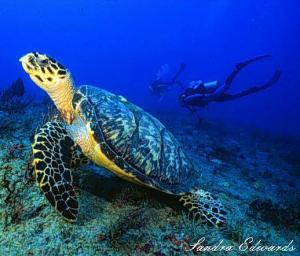 Saving endangered Hawksbill turtles