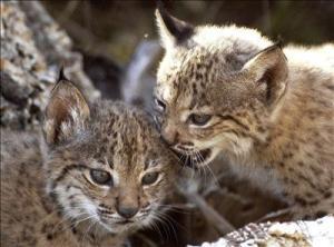 Spanish lynx cubs