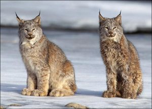 Critically endangered Iberian Lynx