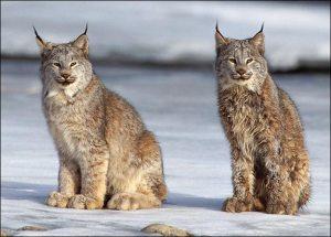 Critically endangered Iberian Lynx