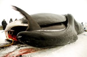 whales slaughtered