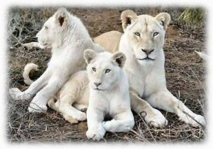 white lions of South Africa