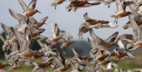 Save the Red Knots