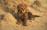 Orphaned baby  Chewbaaka