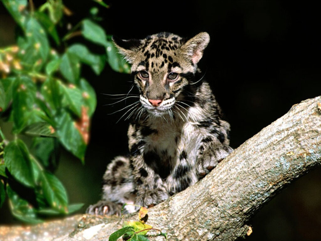 clouded leopard cub nature s crusaders