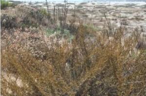 dog beach flora