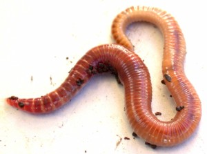 Red worms eating and composting machines