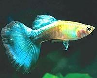guppy-fish-bg