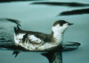 Endangered Marbled Murrelet